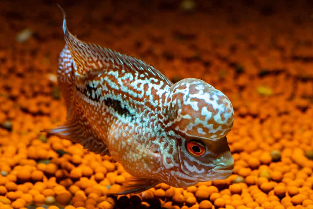 flowerhorn cichlid fish in aquarium