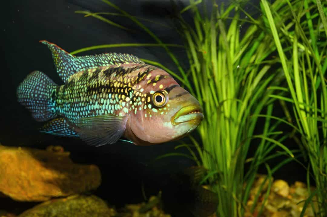 jack dempsey fish underneath the aquarium