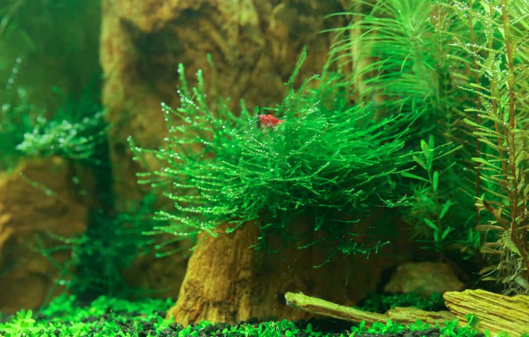 underwater java moss plant in aquarium