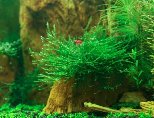 underwater java moss plant in aquarium