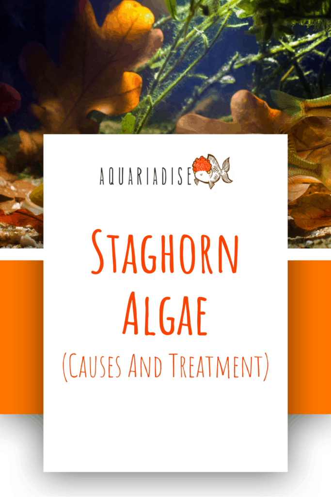 Staghorn Algae