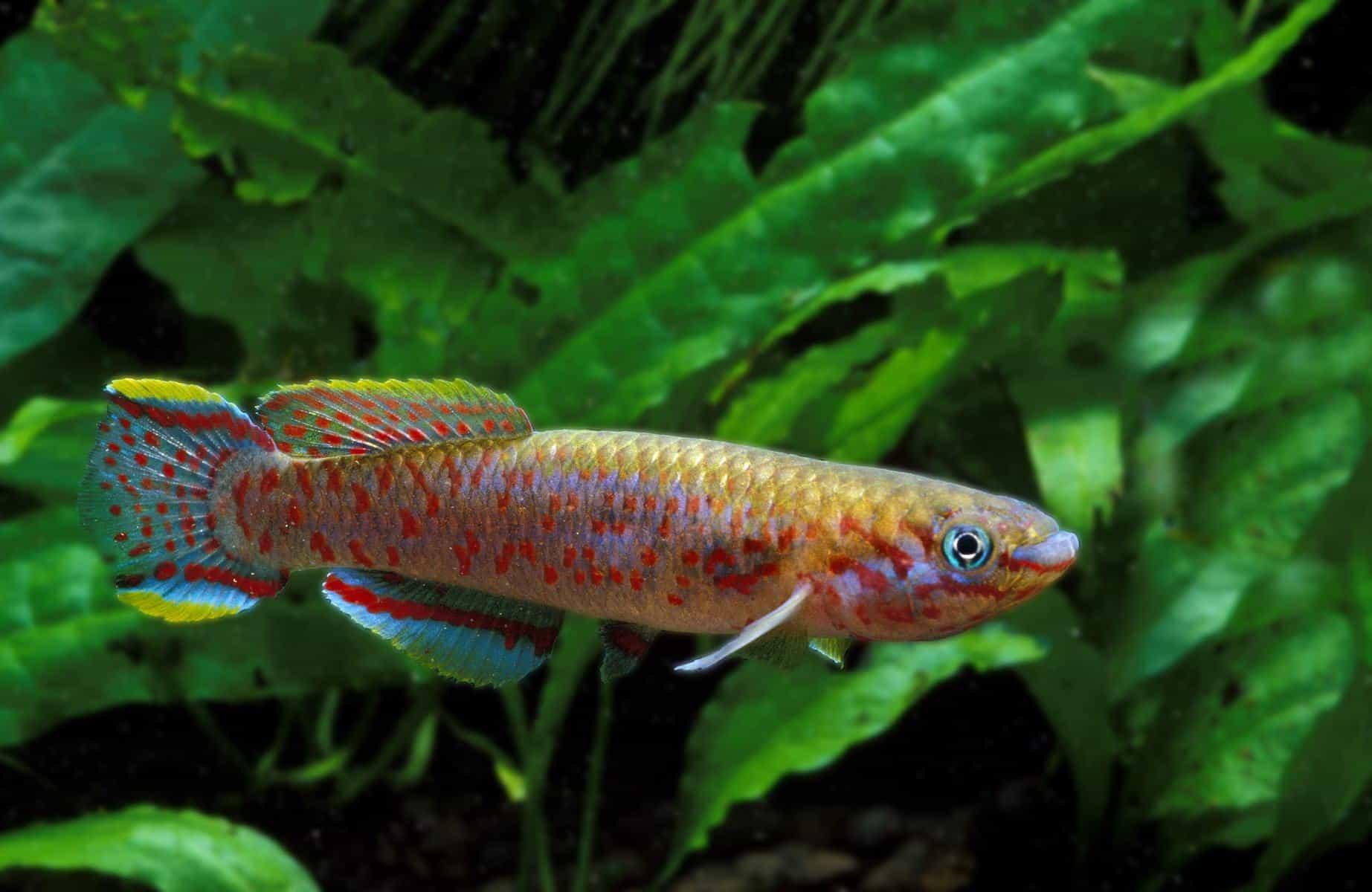 aphyosemion australe killifish