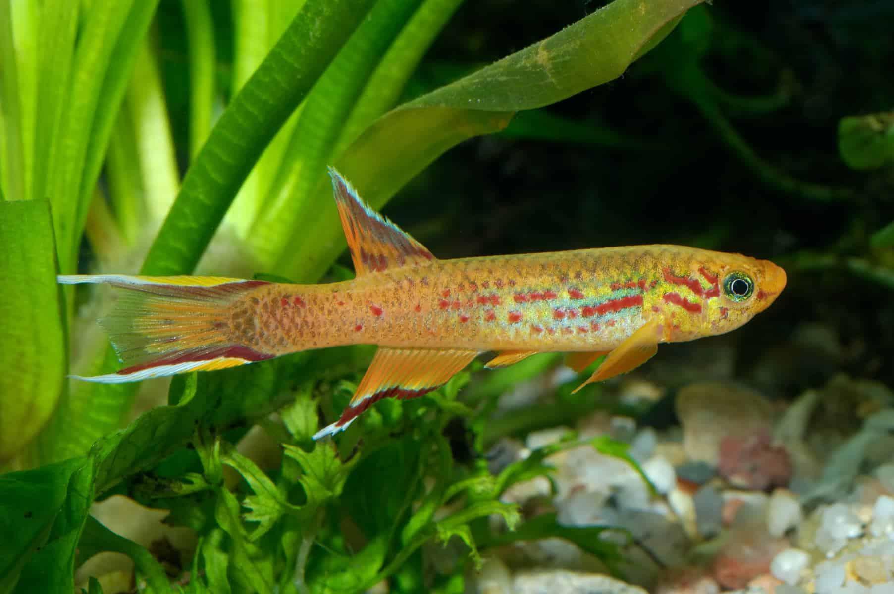 killifish in aquarium