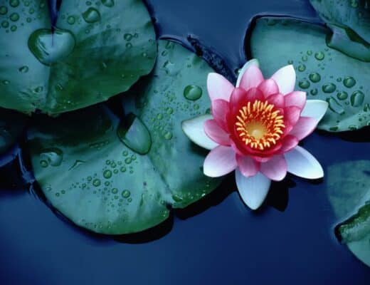 water lily surrounded with leaves