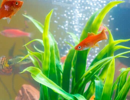 ammonia in fish tank