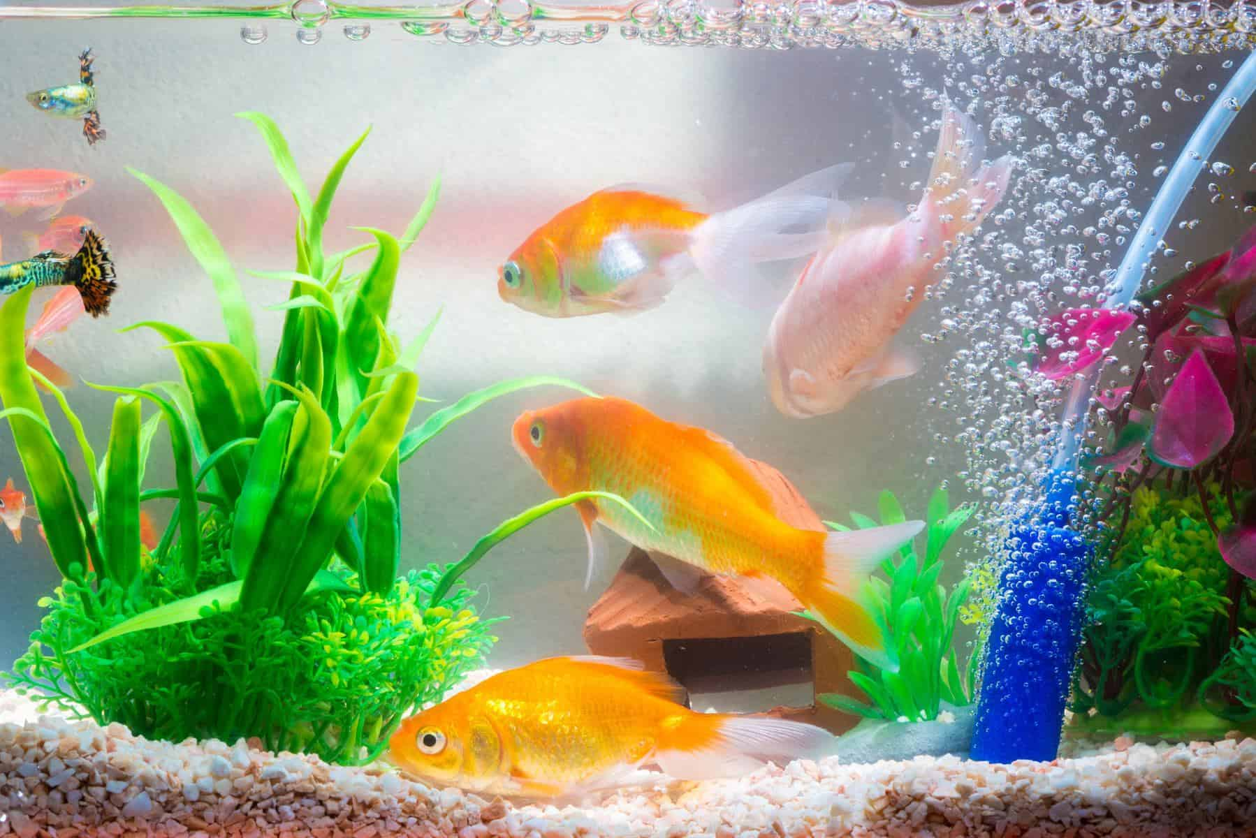 ammonia in fish tank with goldfish