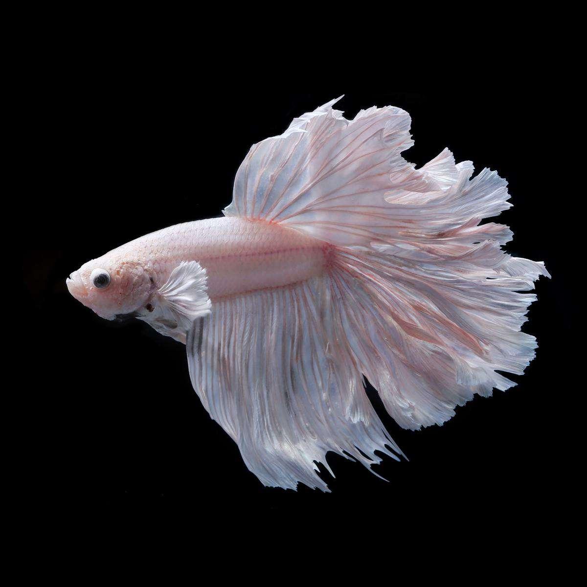 albino betta