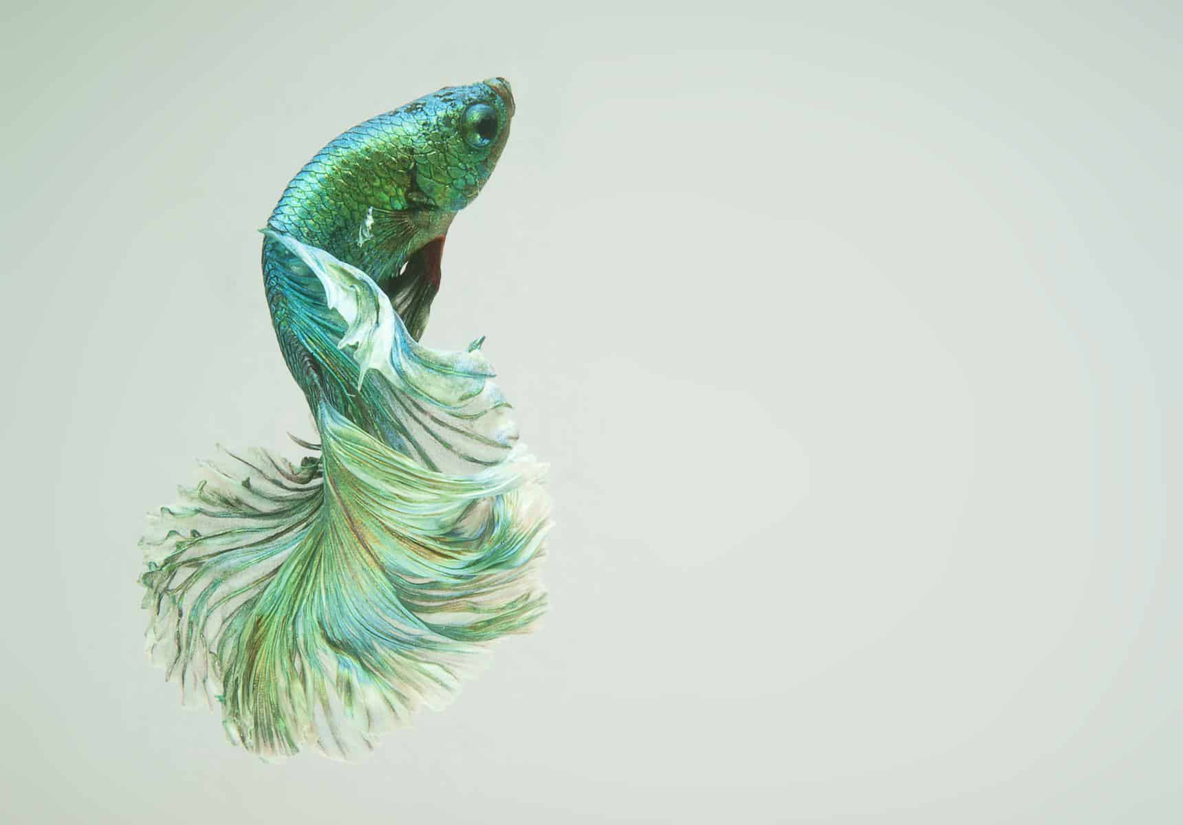 beautiful green fancy halfmoon betta fish