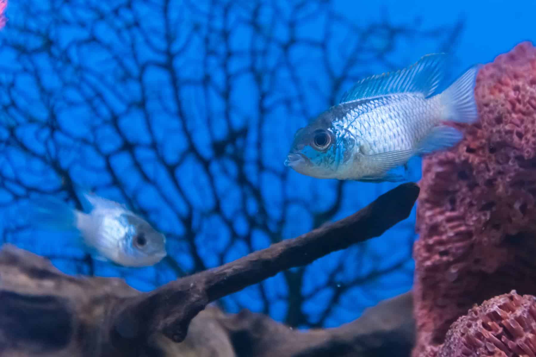 blue chromis fish