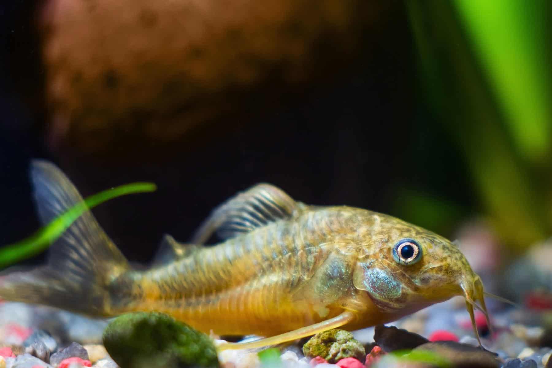 corydoras catfish