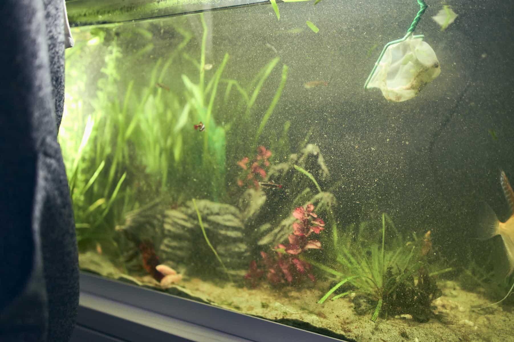 fishkeeper cleaning aquarium with green spot algae