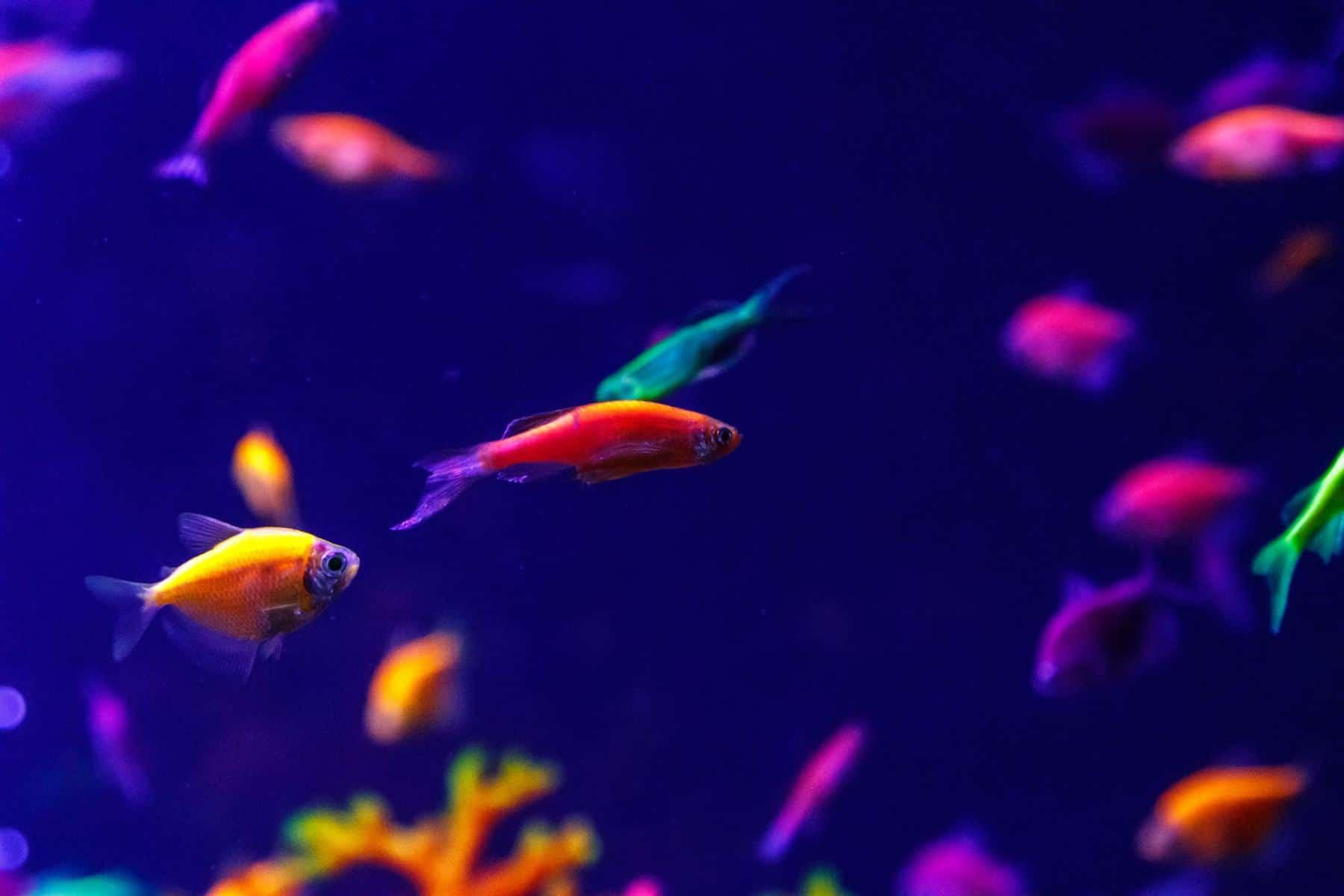 glofish danio in aqurium