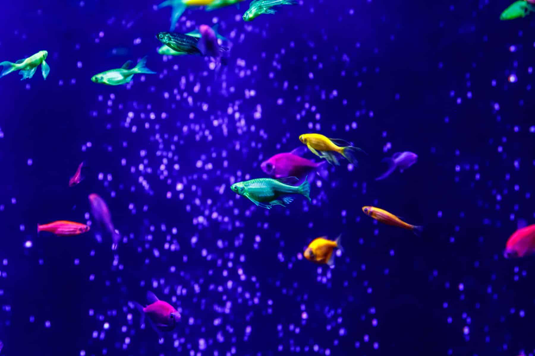glofish danios in bubbled aquarium