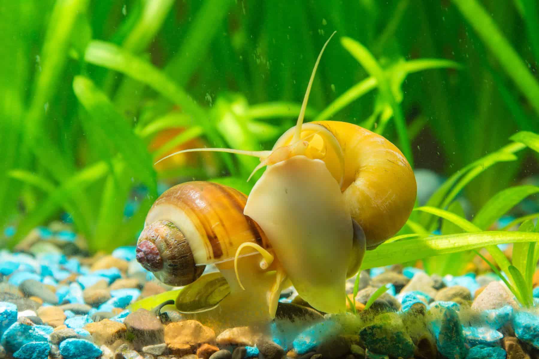 gold inca snail and tankmates in aquarium