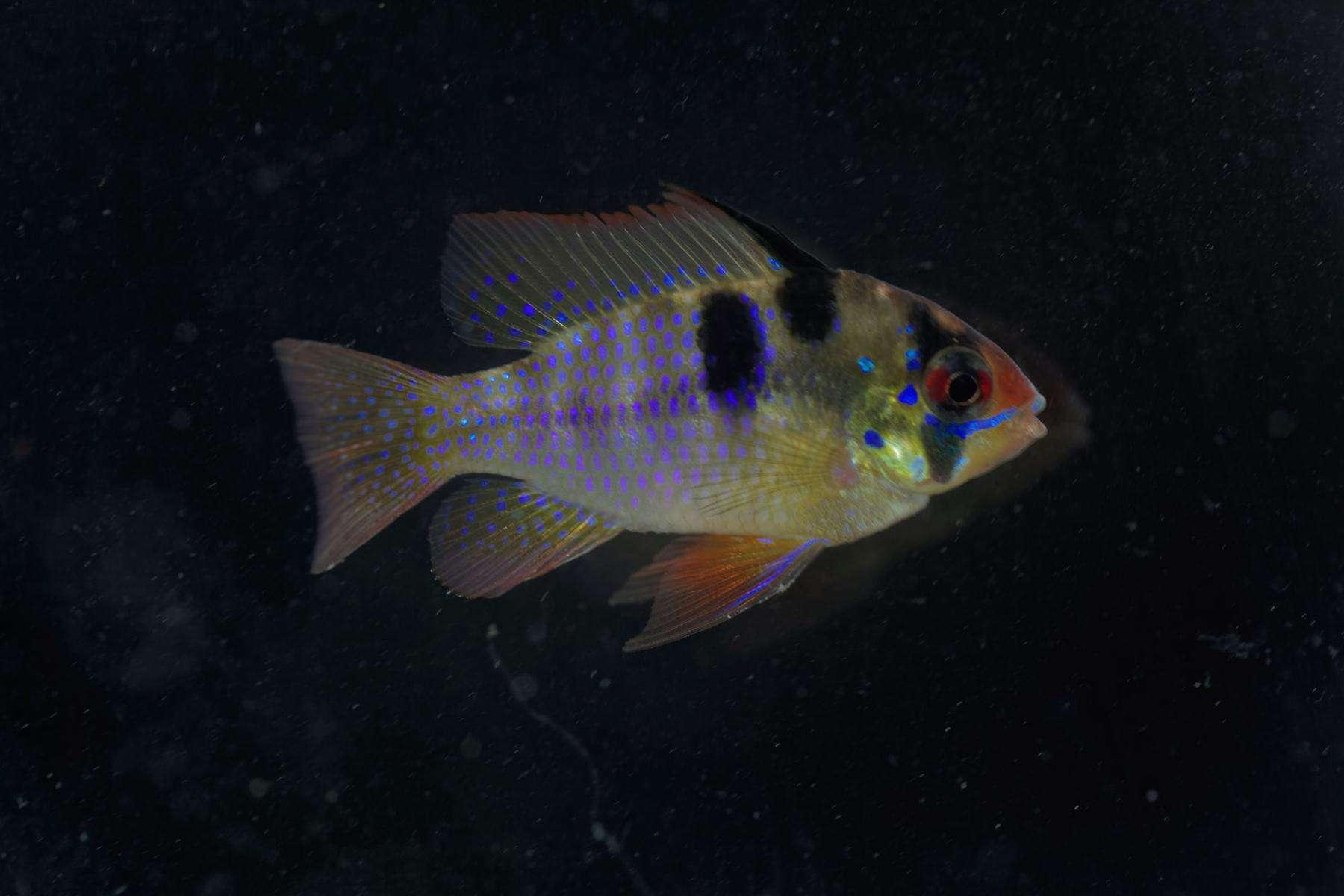 gold ram fish