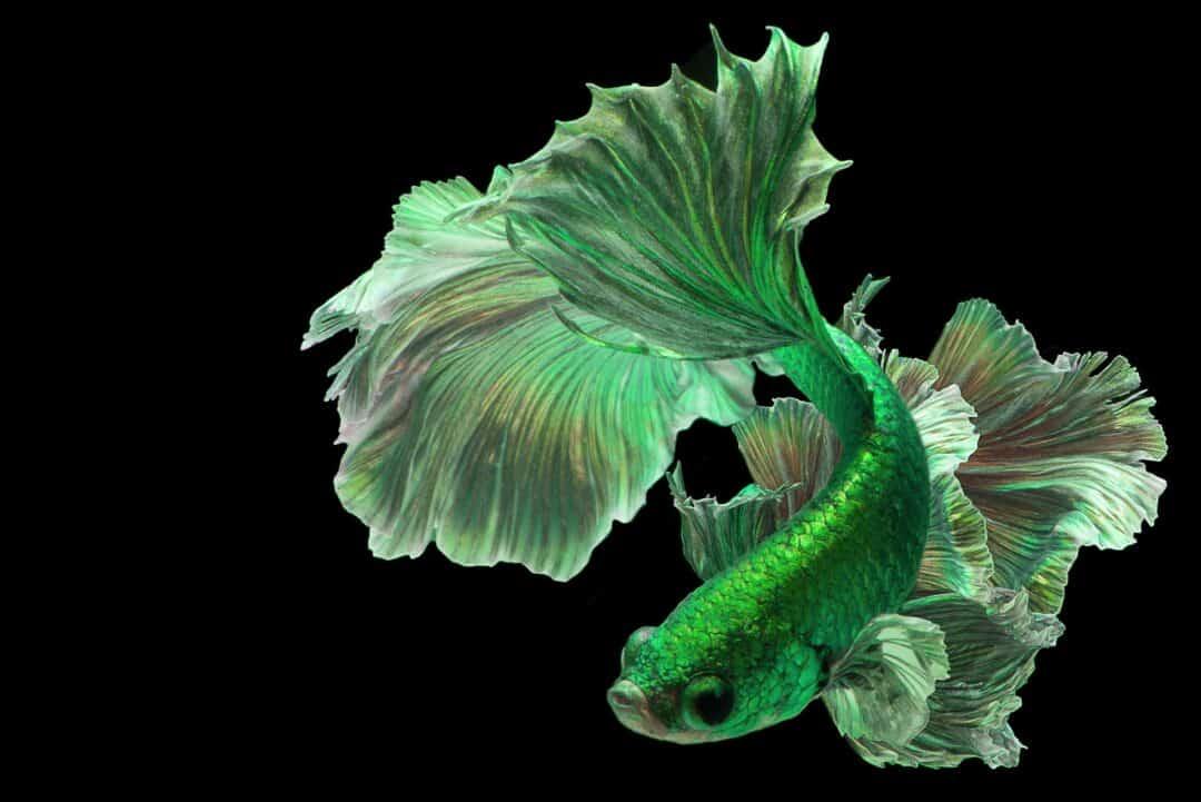 green betta fish