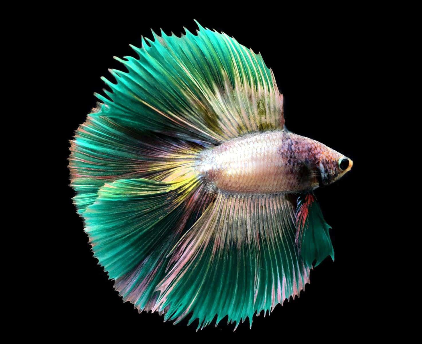 green siamese fighting betta fish