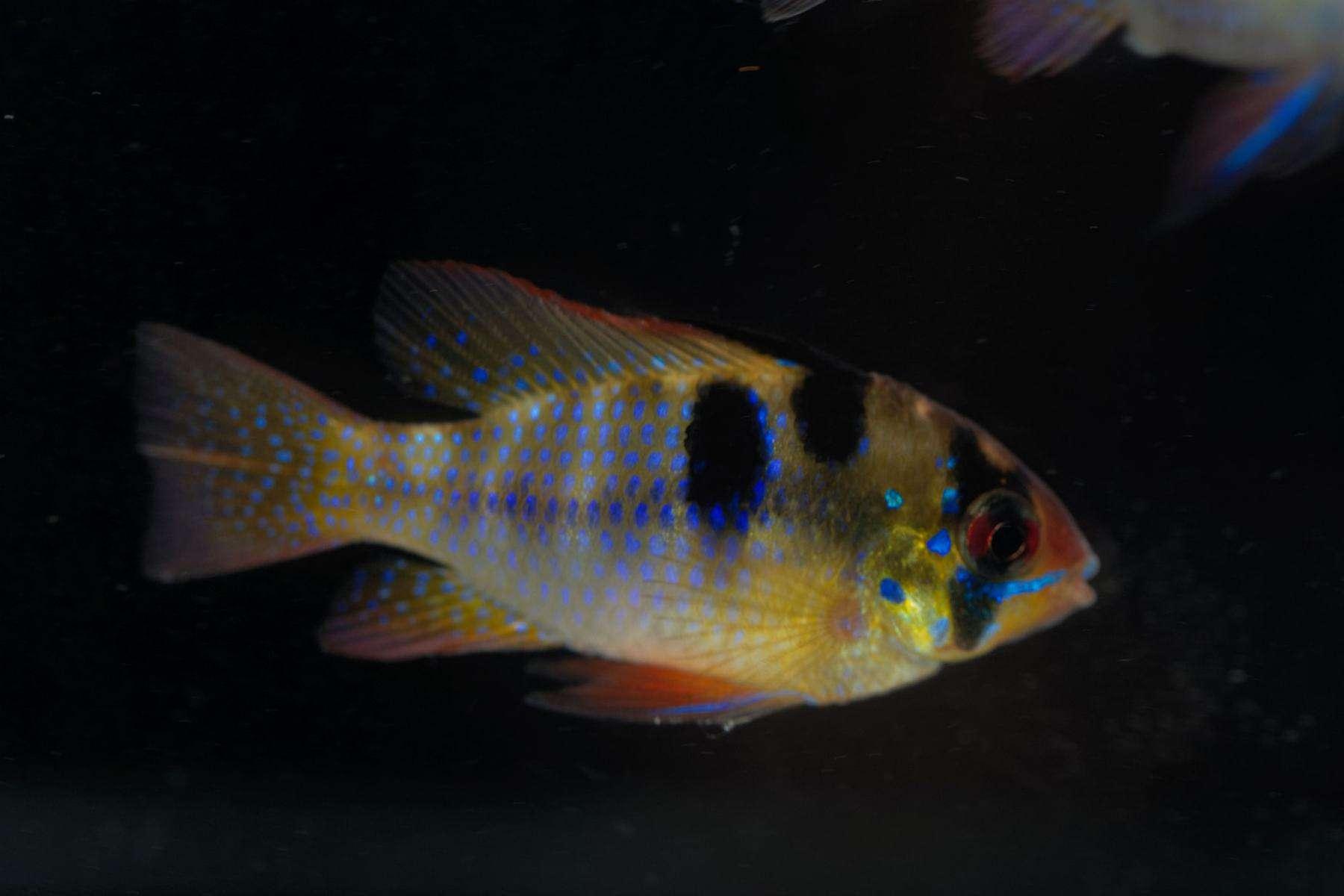mikrogeophagus ramirezi species