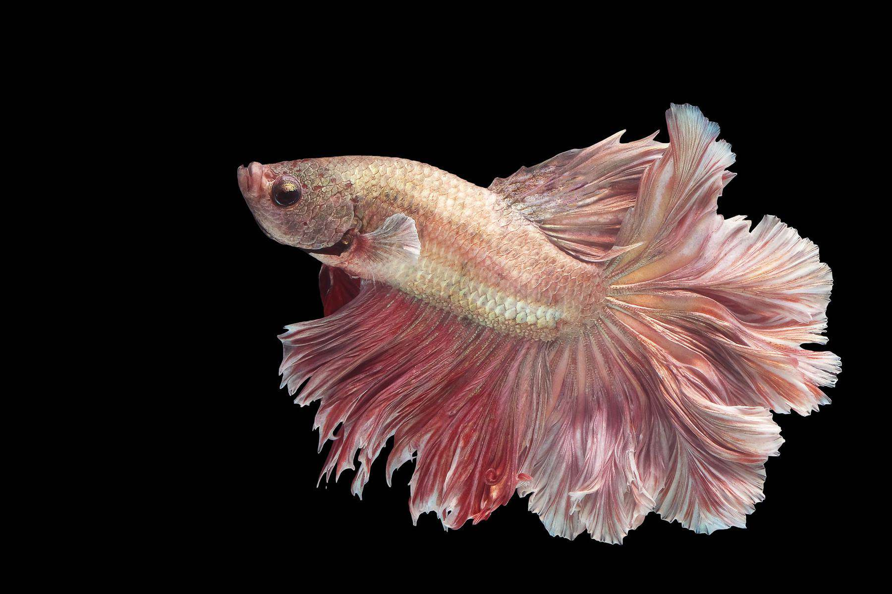 pale pink betta fish