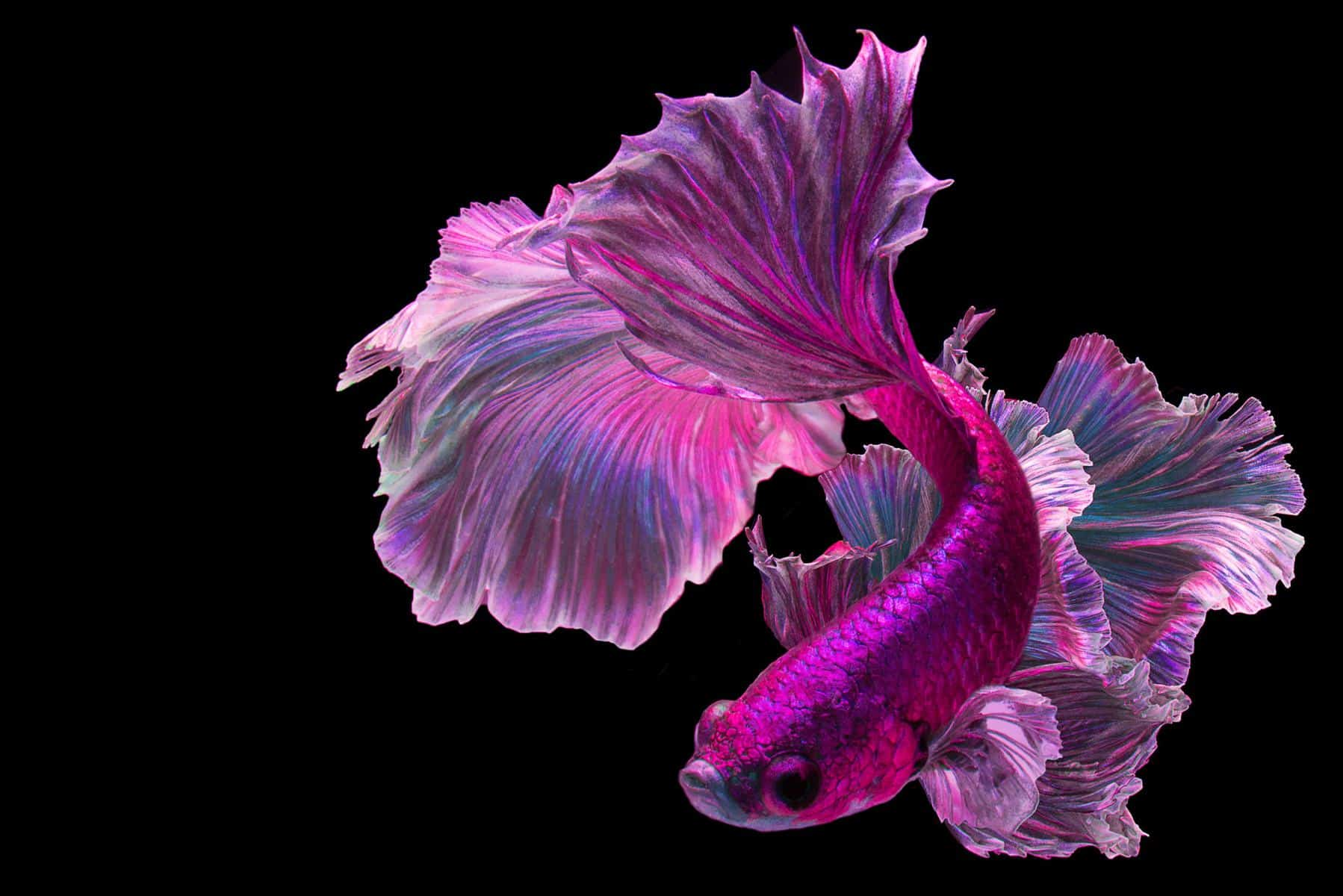purple pink betta fish