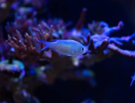 Chromis Fish