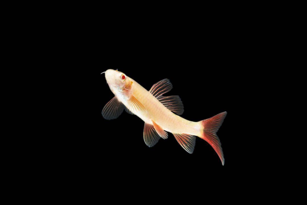 Albino Rainbow Shark