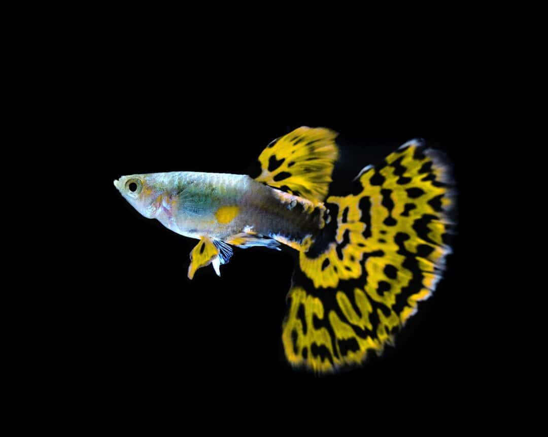Cobra Guppy