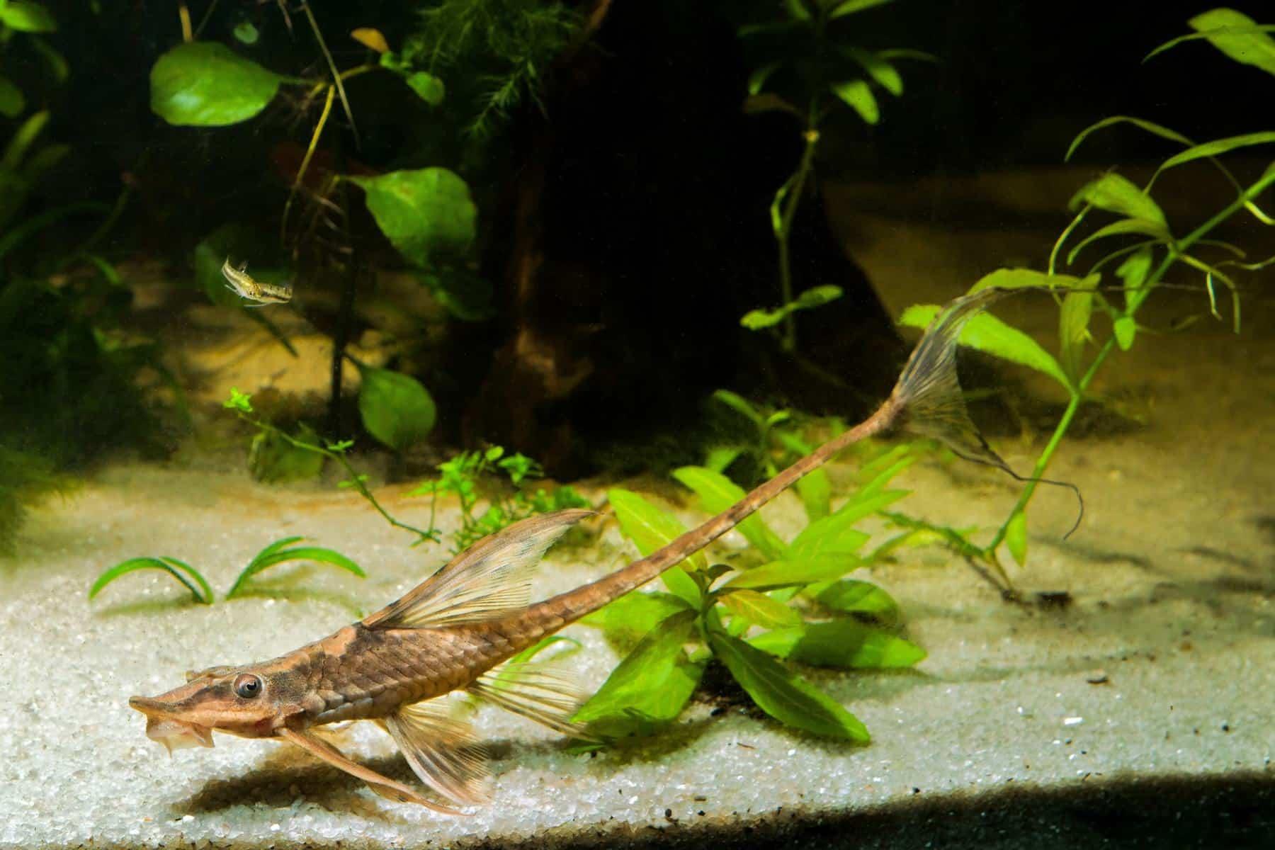 Farlowella twig catfish