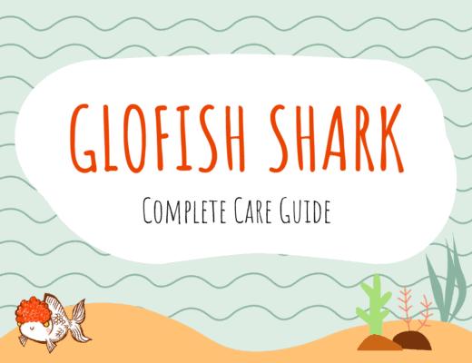 Glofish Shark