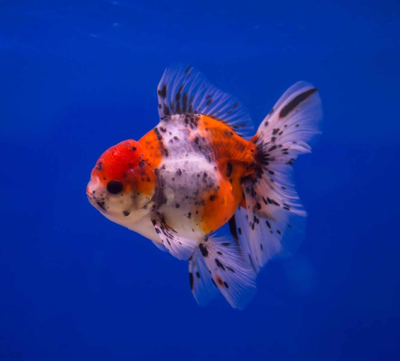 calico goldfish in a blue background