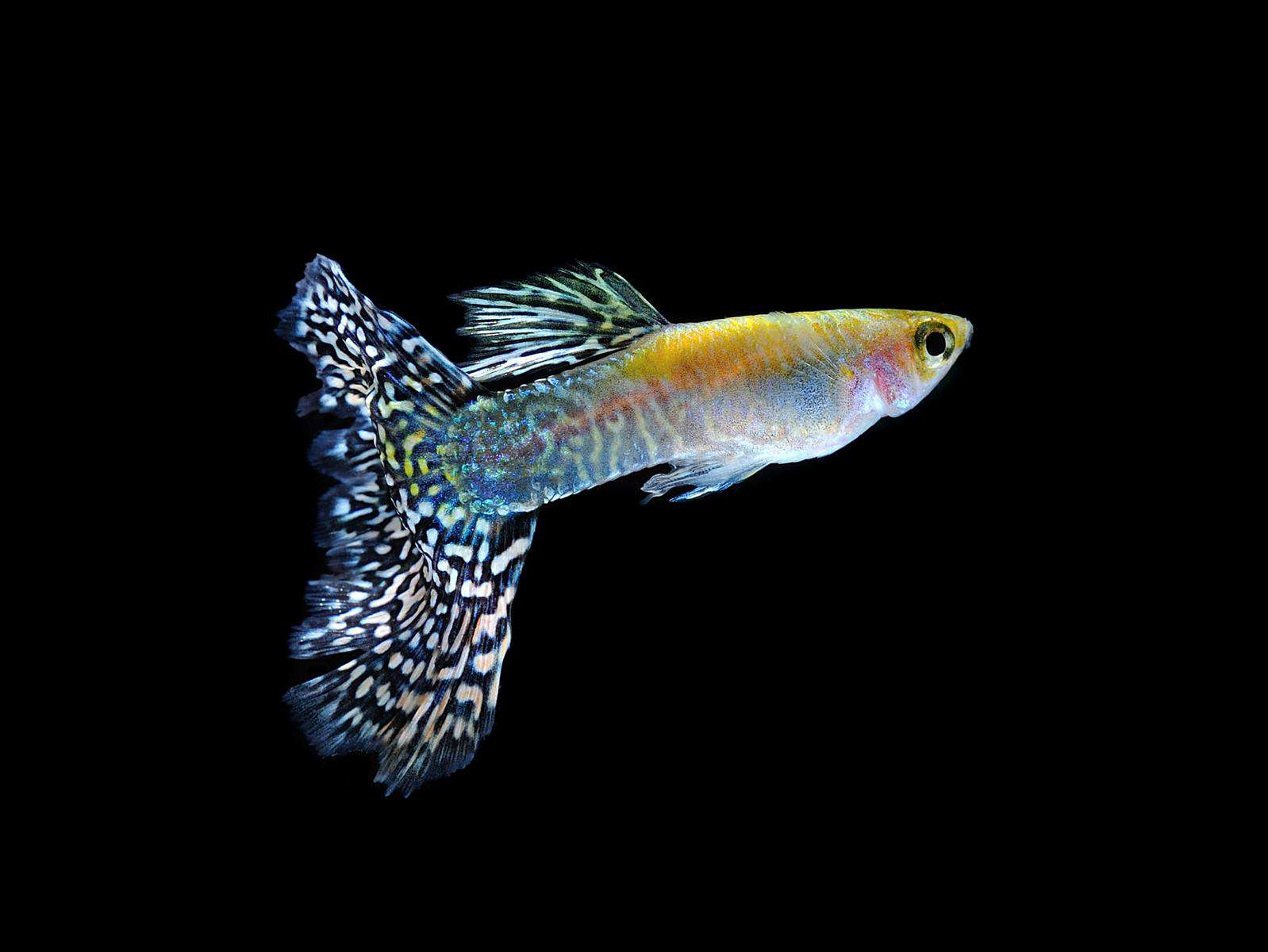 cobra guppy in a black background