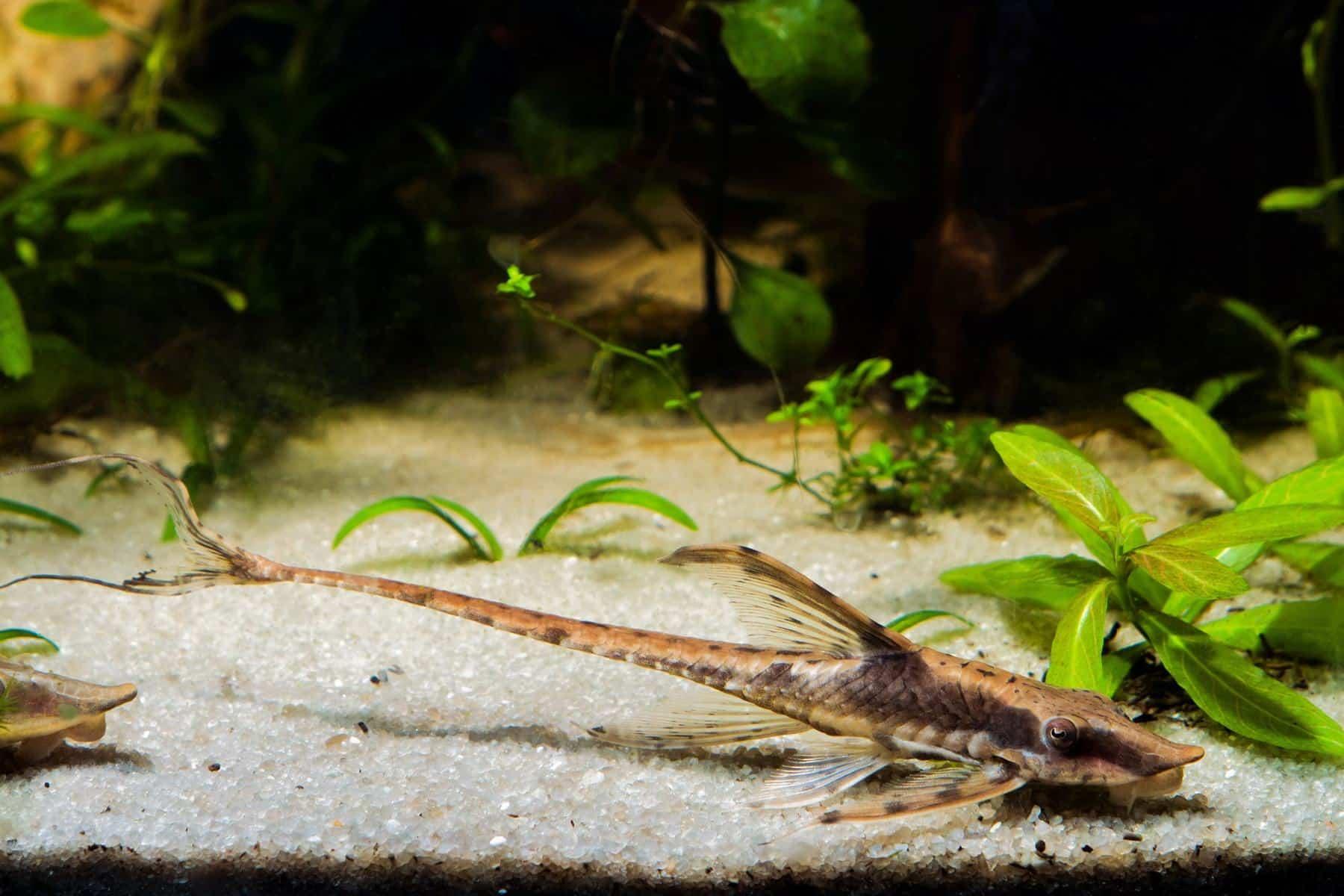 farlowella at the bottom of aquarium