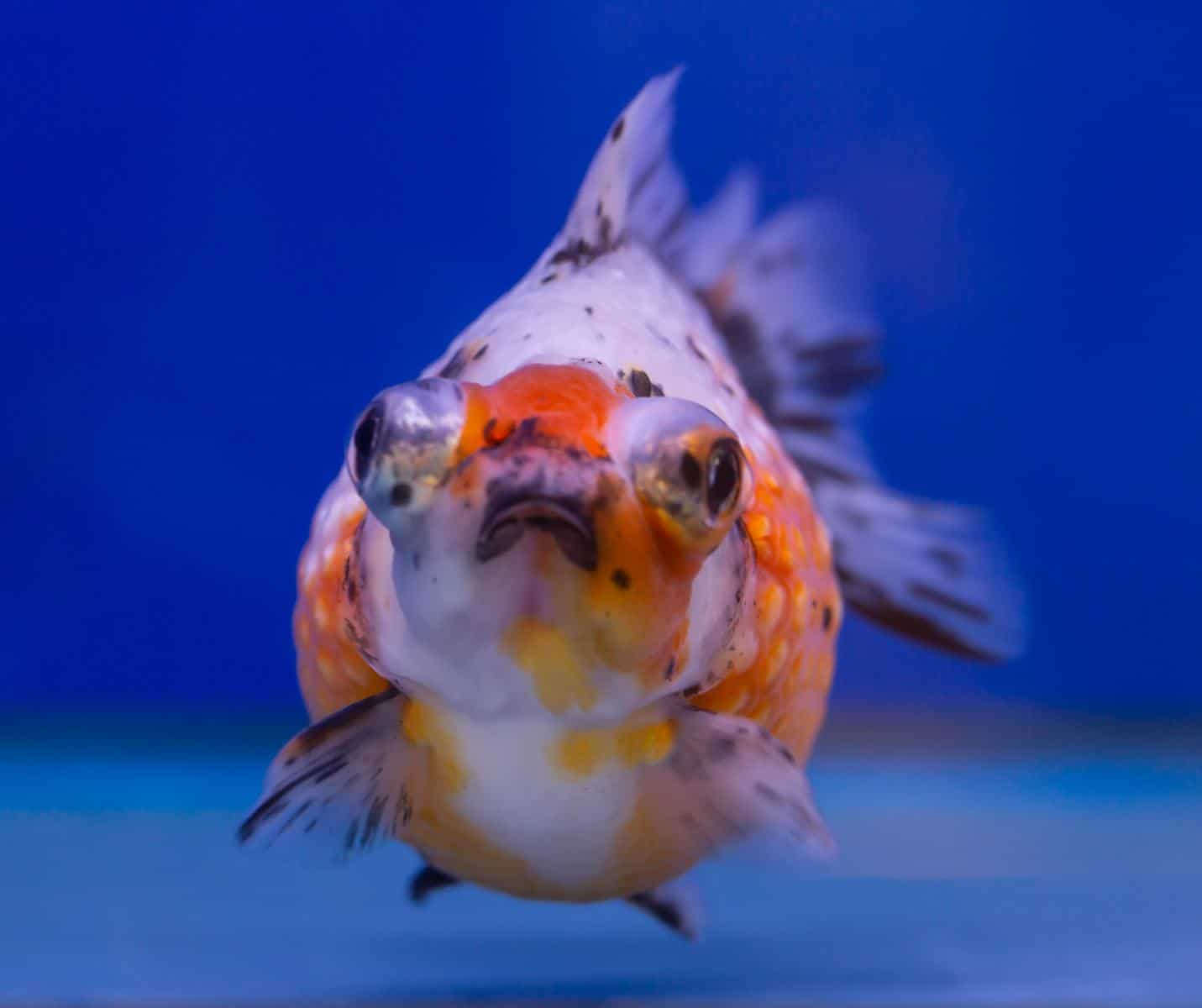 front view of calico goldfish