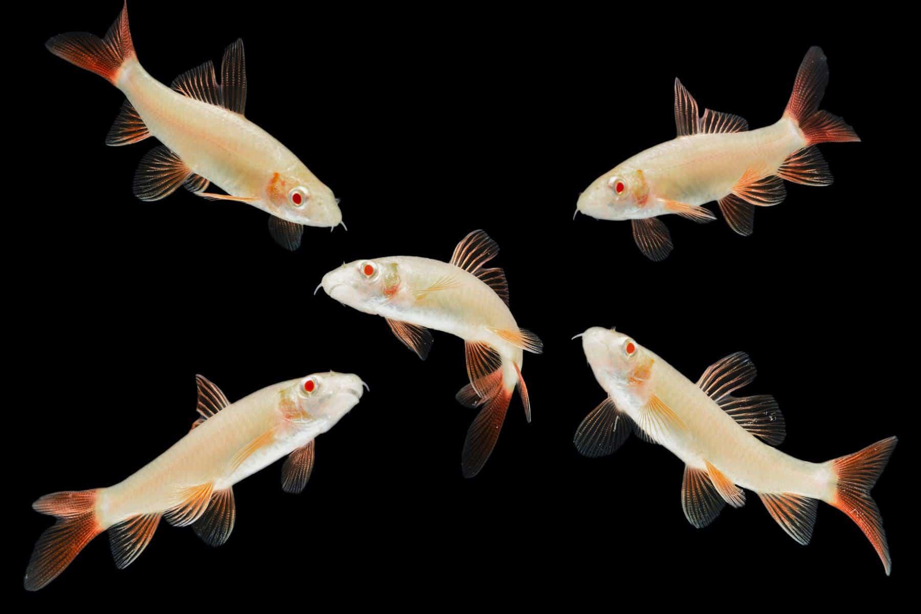 group of albino rainbow shark