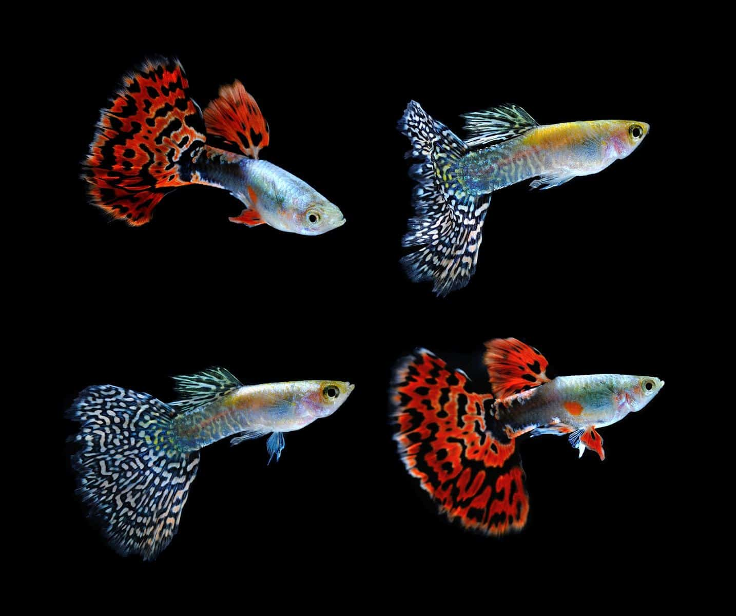 group of cobra guppy fish