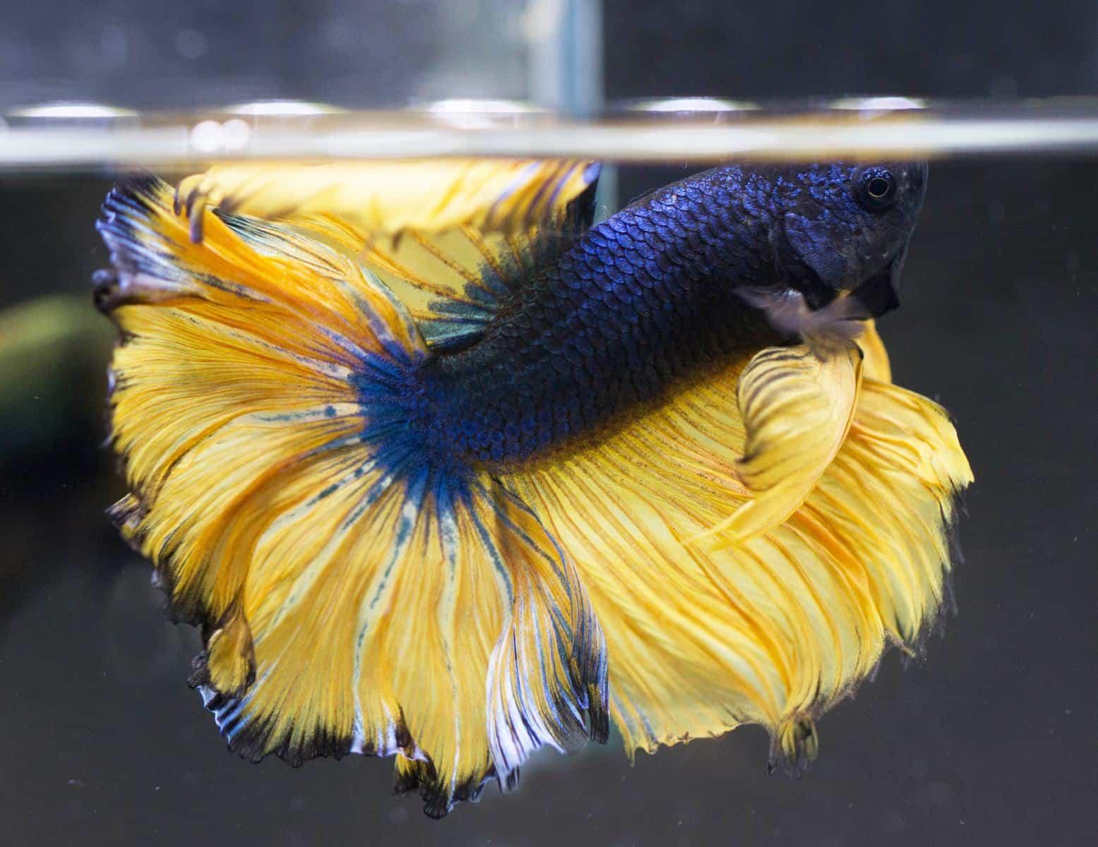 mustard gas betta fish in aquarium