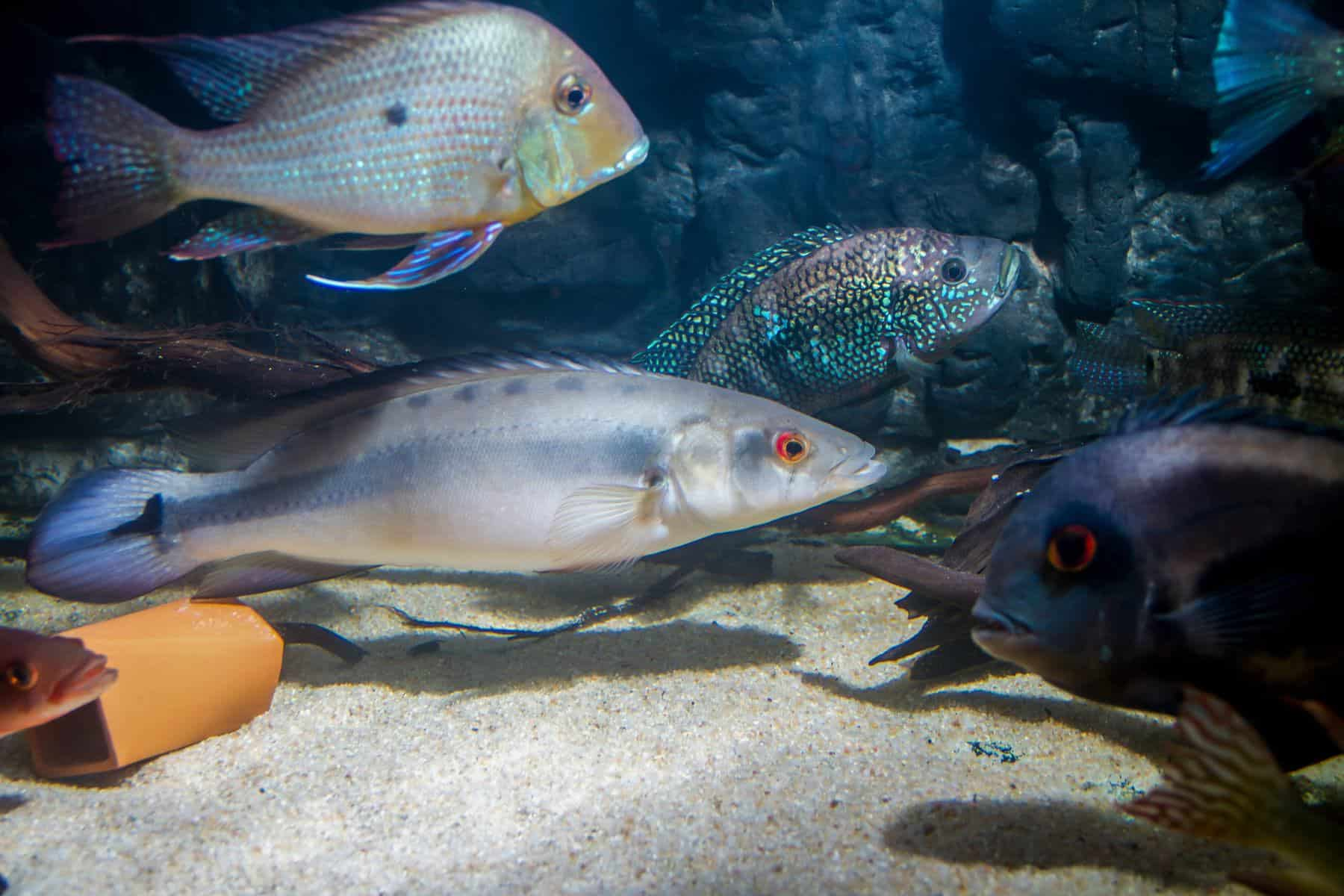 pike cichlid and other underwater species