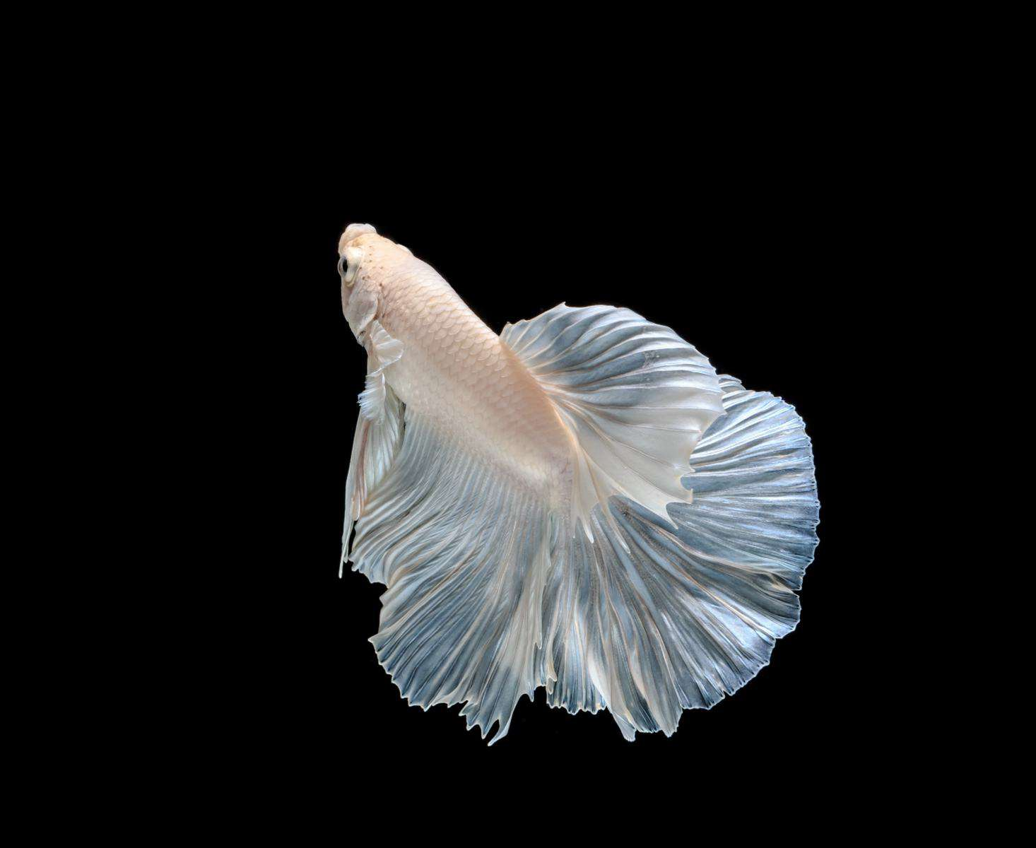 side view of white opal betta