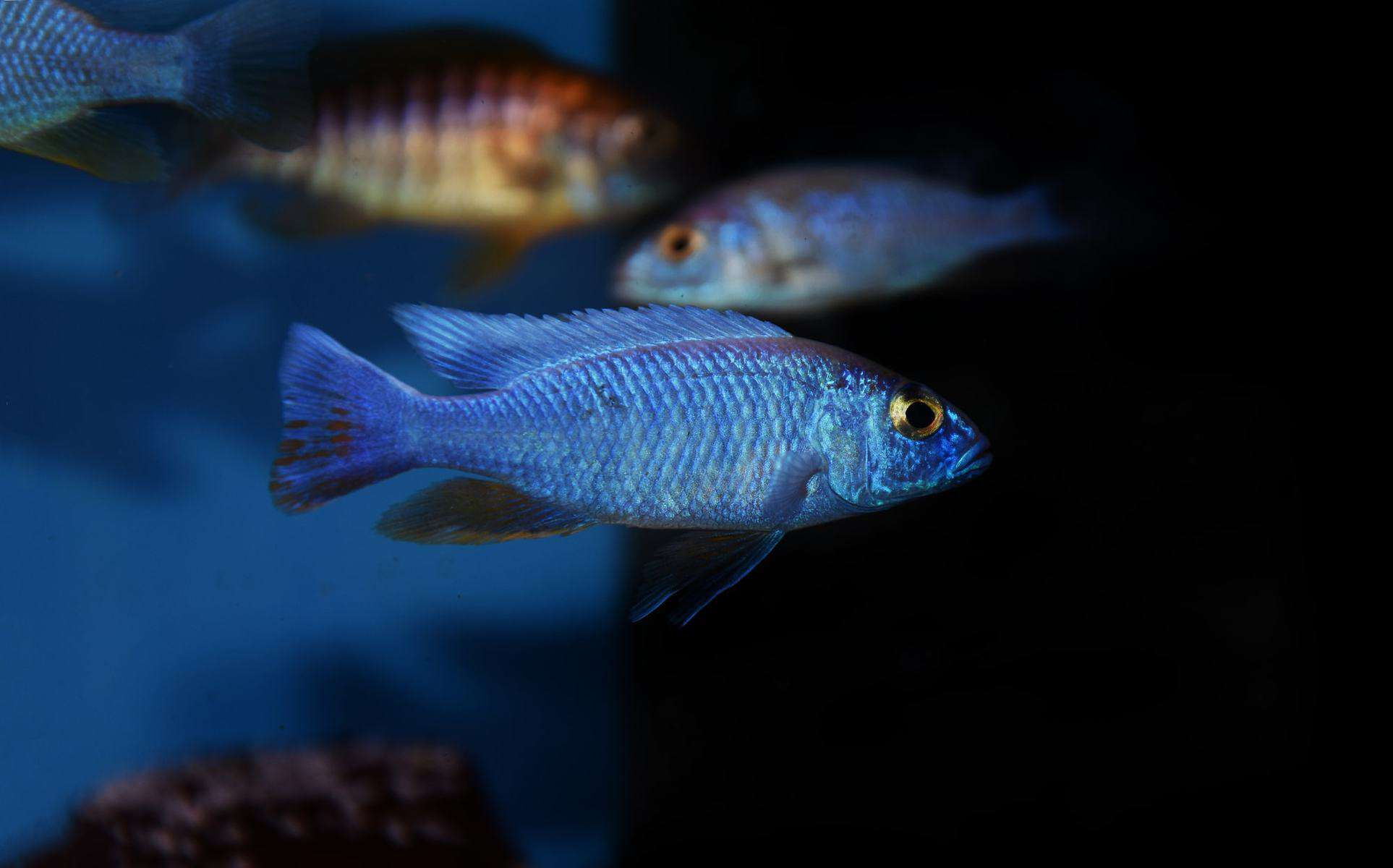 swimming blue cichlids