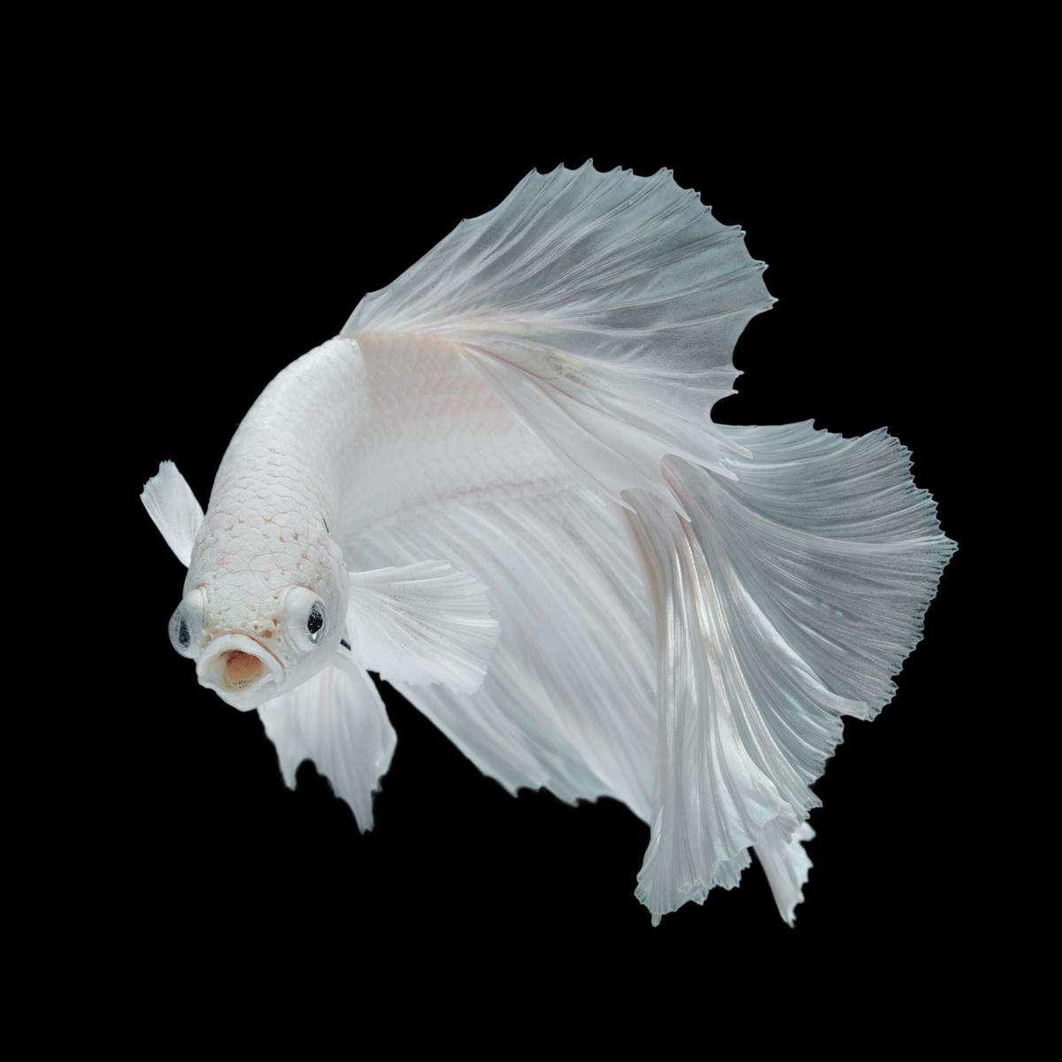 white opal betta fighting siamese fish