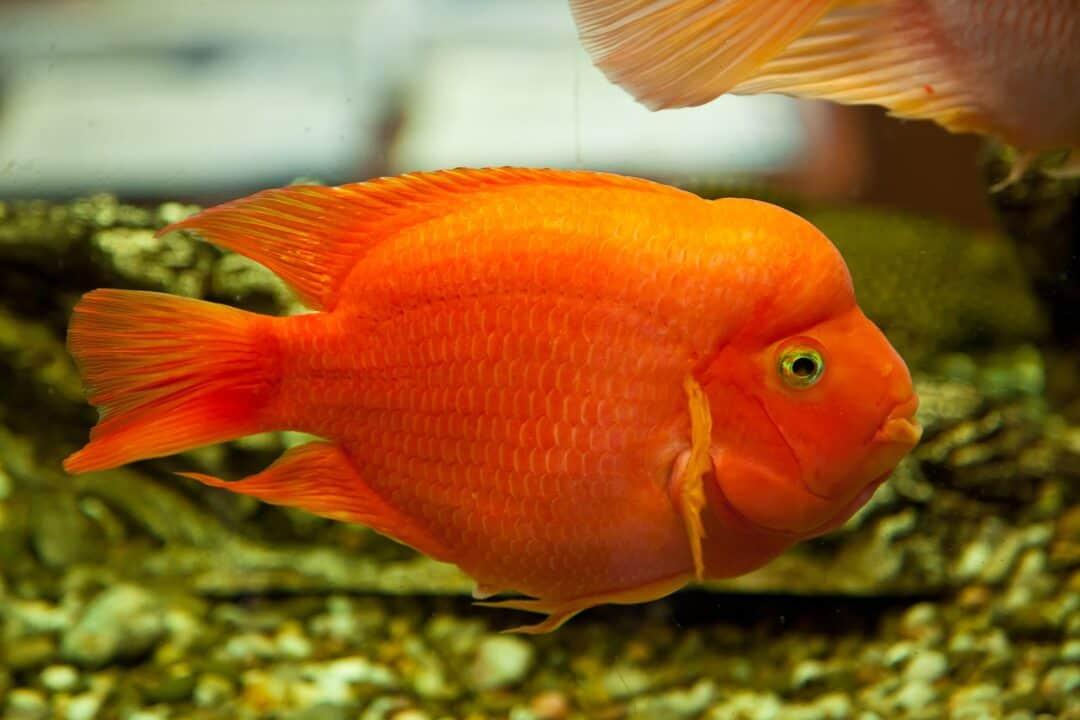 Blood Parrot Fish