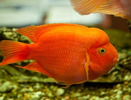 Blood Parrot Fish