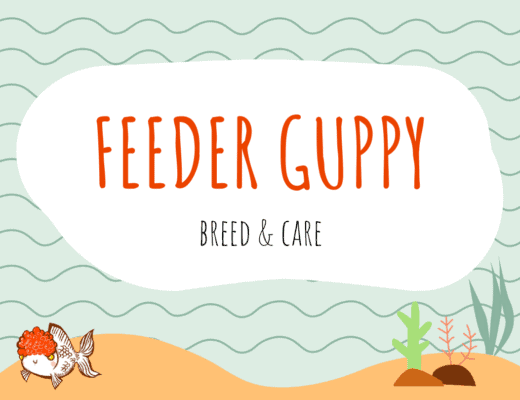 Feeder Guppy