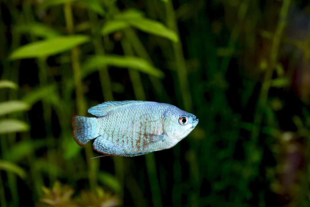 Powder Blue Gourami
