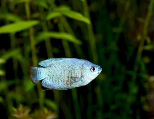 Powder Blue Gourami
