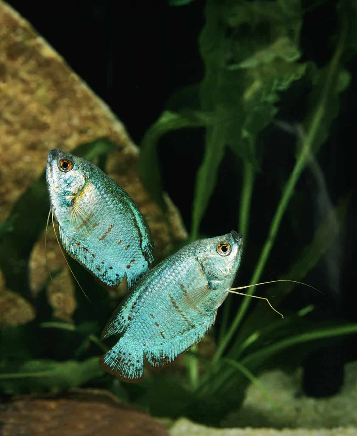Powder Blue Gourami tank mates