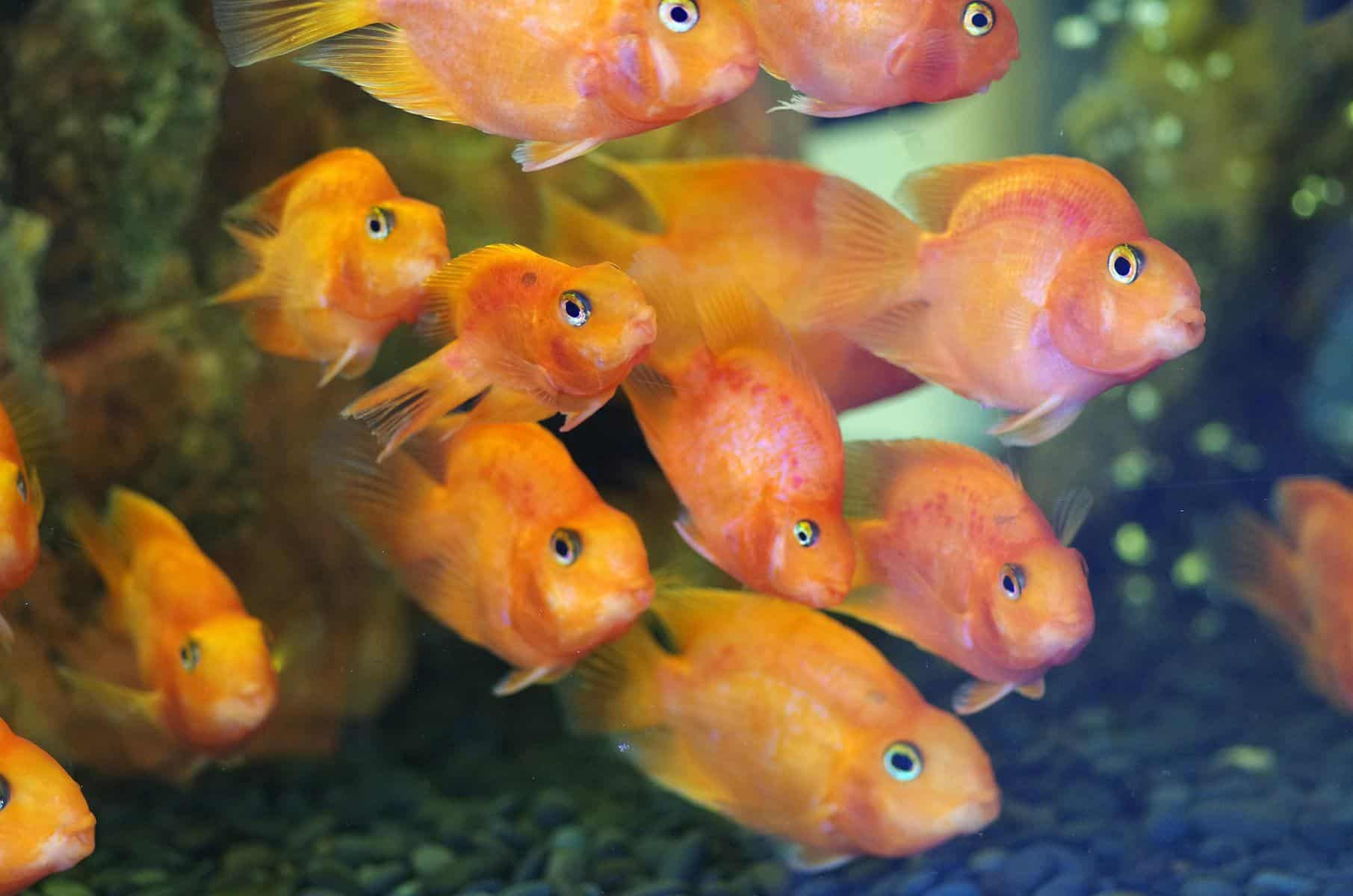 group of blood parrot fish