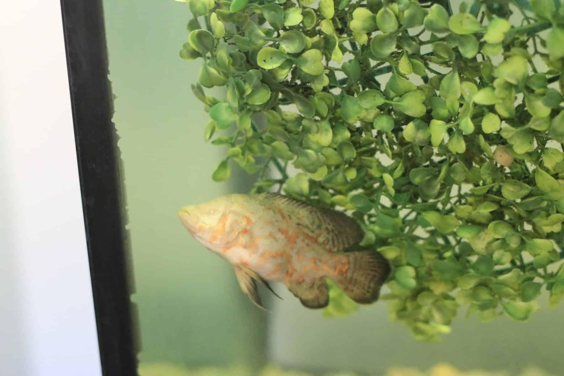 albino oscar fish in aquarium