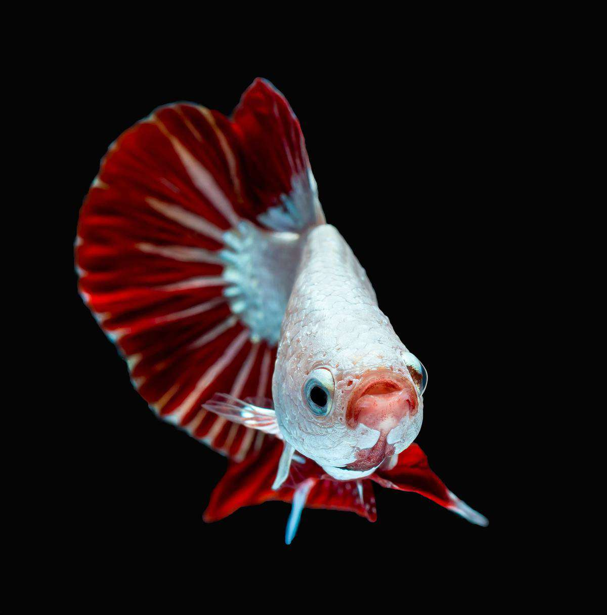 front view of dragon betta