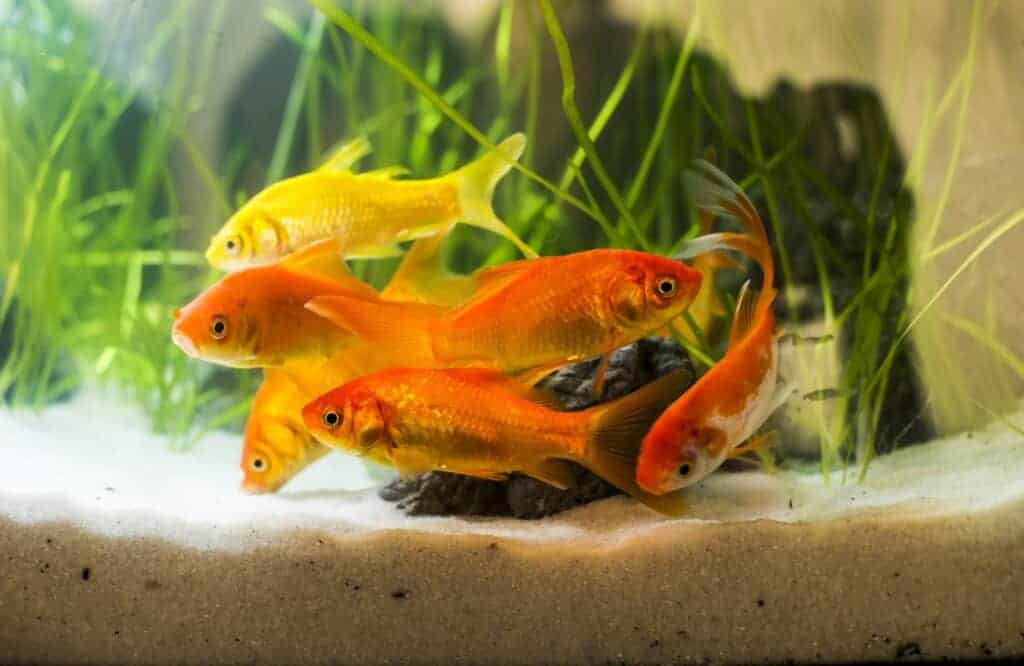 Goldfish Tankmates